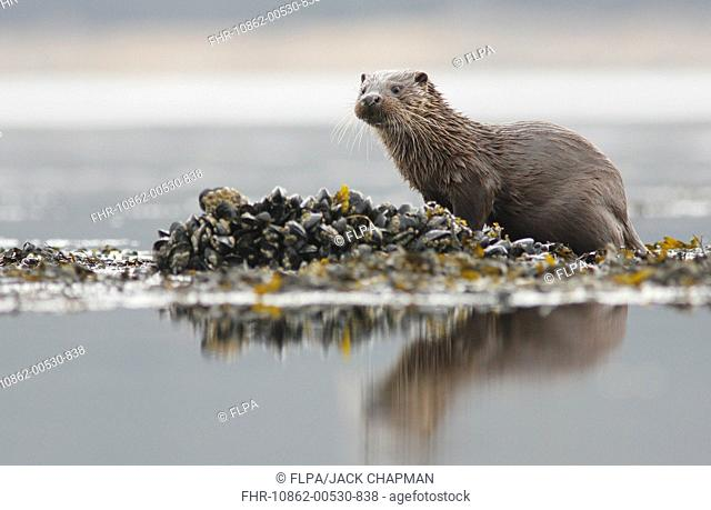 European Otter Lutra lutra cub, standing on mussel bed, Isle of Mull, Inner Hebrides, Scotland, april