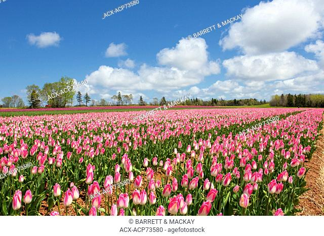Tulip field in spring, Waterside, Prince Edward Island, Canada