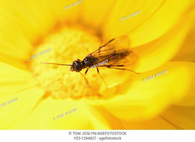 Black fly on yellow flower, England, UK