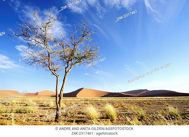 Camel Thorn (Acacia erioloba) growing in the savanna of the sossusvlei in front of Red Sossusvlei Dunes, Namibia