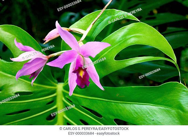 Orchid. Veracruz, Mexico