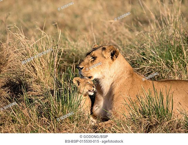 Masai Mara National Reserve. Lioness and cub (Panthera leo). Kenya