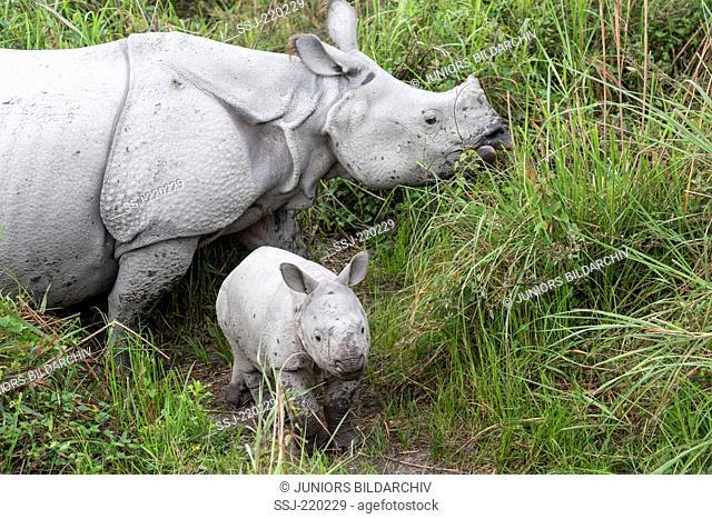 Indian Rhinoceros (Rhinoceros unicornis). Female and young in elephant grass. Kaziranga National Park, India