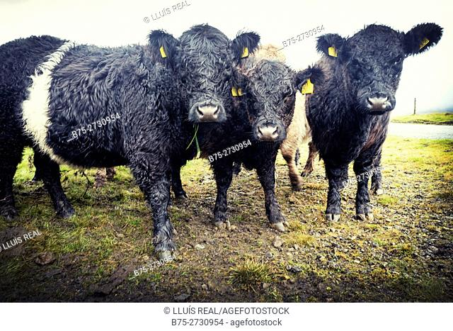 Belted Galloway Cows. North Yorkshire, England