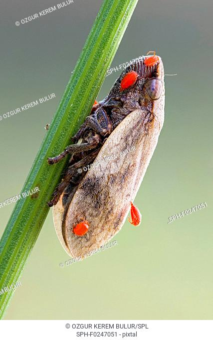 Frog hopper (Aphrophoridae) and a few parasitic red mite (Erythraeidae) nymphs on it