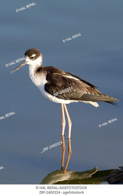 Black-Necked Stilt juvenile. USA