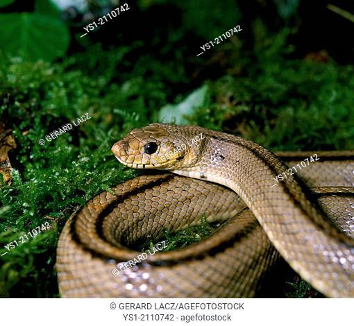Ladder Snake, elaphe scalaris