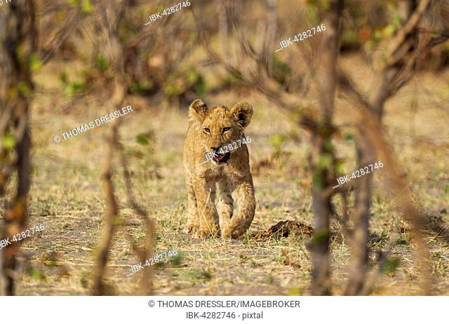 Lion (Panthera leo), cub, Savuti, Chobe National Park, Botswana