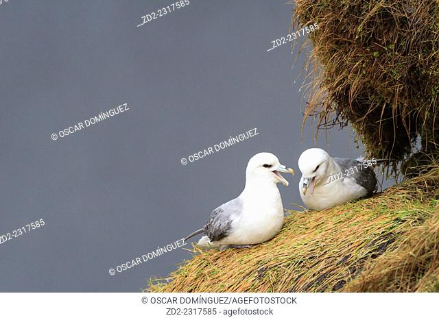 Fulmar (Fulmarus glacialis) pair engaged in their cackling display. Skogafoss. Iceland