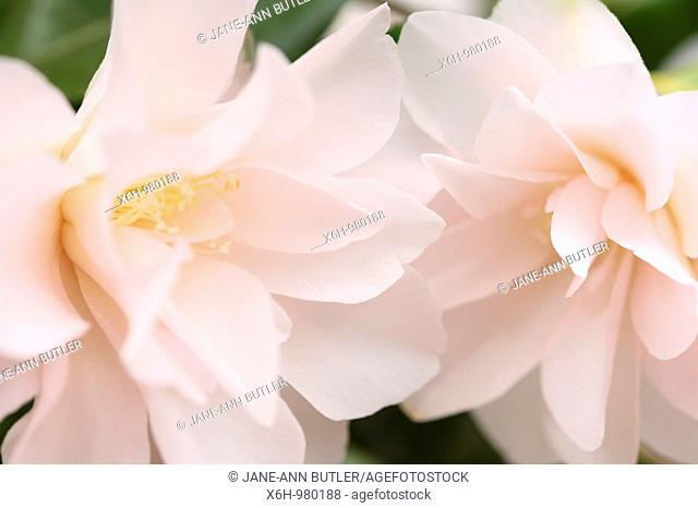 Spring Flower White Blush Pink Camellia Blooms