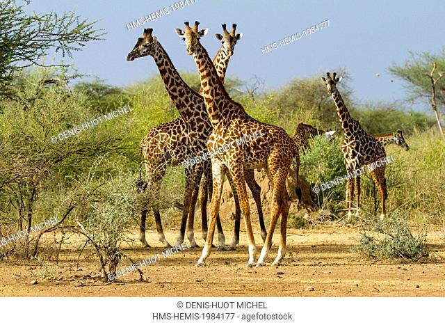 Kenya, lake Magadi, Girafe masai (Giraffa camelopardalis), group feeding on some acacia trees
