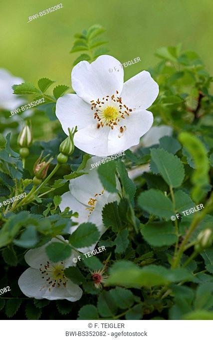 burnet rose (Rosa spinosissima, Rosa pimpinellifolia), blooming, Germany