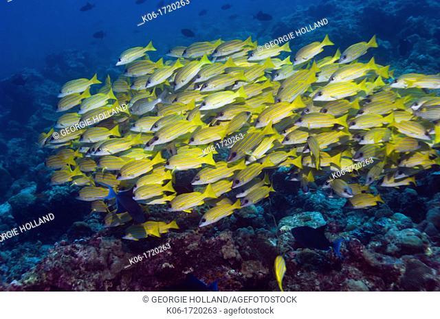 Blueline snappers Lutjanus kasmira school  Maldives