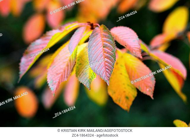 Beautiful autumn leaves at cherry tree