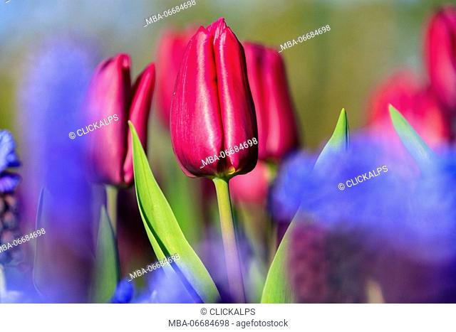 Close up of red and violet tulips in bloom at the Keukenhof Botanical garden Lisse South Holland The Netherlands Europe