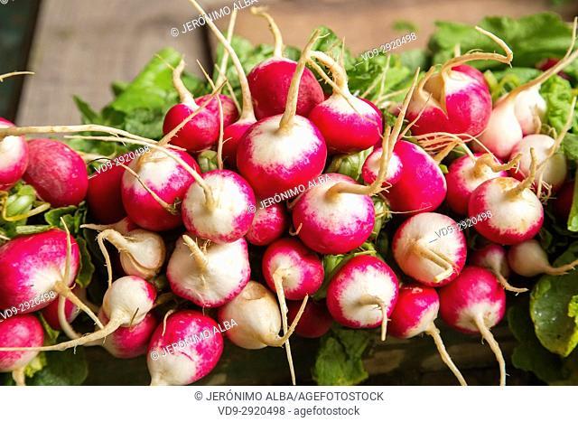 Fresh radishes, Souk Medina of Fez, Fes el Bali. Morocco, Maghreb North Africa