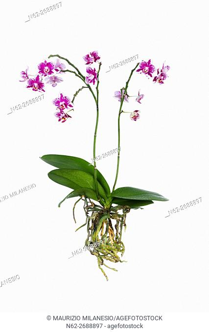 Purple and white orchid with totally visible roots isolated on white backdrop