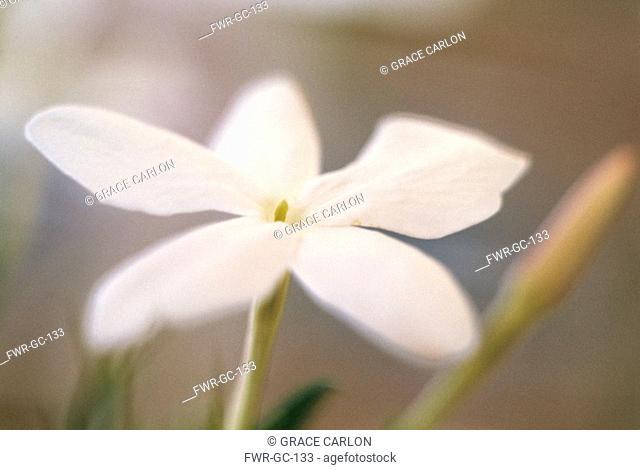 Jasminum officinale, Jasmine