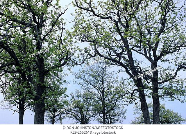 Northern red oak (Quercus rubra). Spring foliage, Manitoulin Island, Ontario, Canada