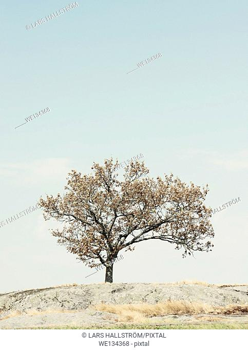 One tree on hill and blue sky with copy space. Sweden