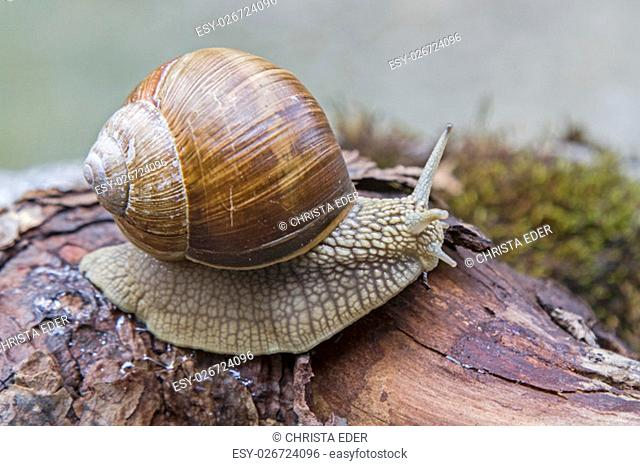 snail climbing over a lying tree in the forest