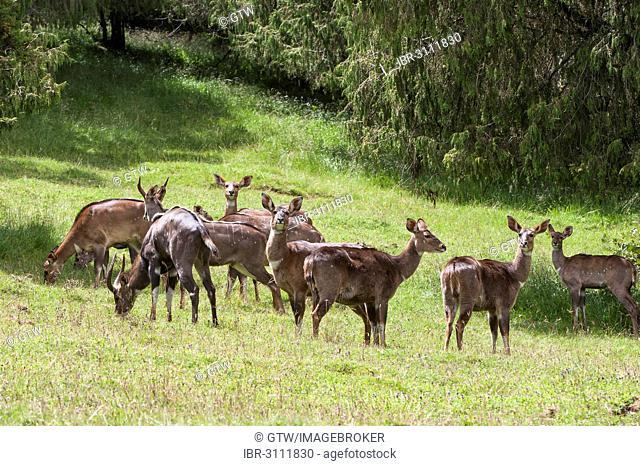 Herd of Mountain Nyalas or Balboks (Tragelaphus buxtoni), Bale Mountains, Ethiopia