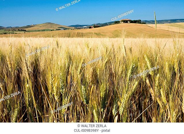 Wheat field, Val d'Orcia, Siena, Tuscany, Italy
