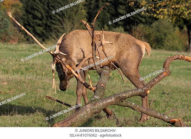 Red Deer (Cervus elaphus). Stag rubbing its antlers on twigs in order to remove the velvet. Germany