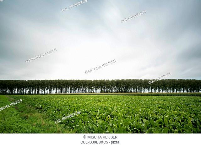 Row of trees along Leopold Canal, Damme, West Flanders, Belgium
