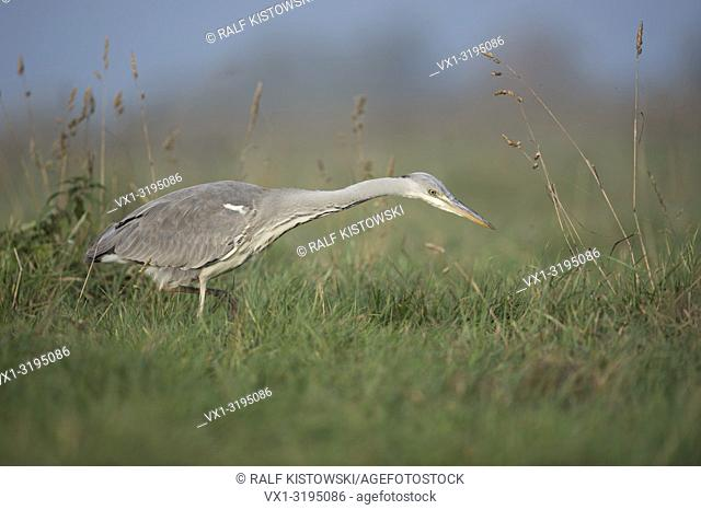 Gray Heron (Ardea cinerea), hunting in high vegetation, natural surrounding of a wet meadow, searching for food