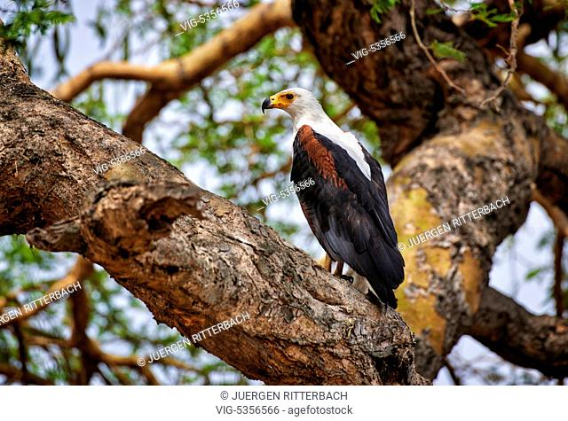 African fish eagle, Haliaeetus vocifer, Murchison Falls National Park, Uganda, Africa - Uganda, 10/02/2015