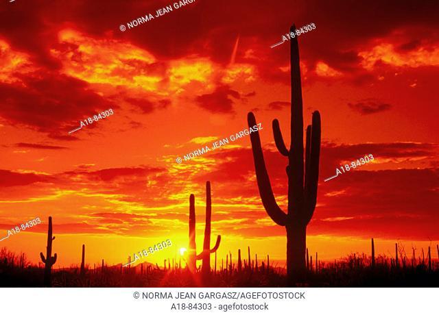 Saguaro National Park. Arizona. USA