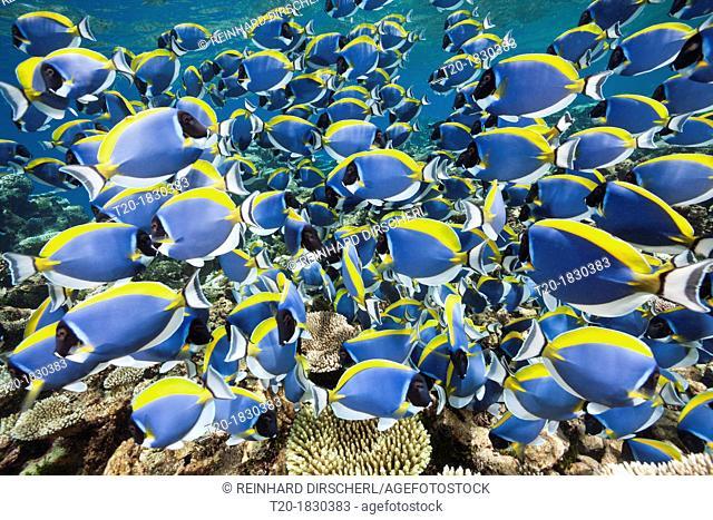 Shoal of Powder Blue Tang, Acanthurus leucosternon, Thaa Atoll, Maldives