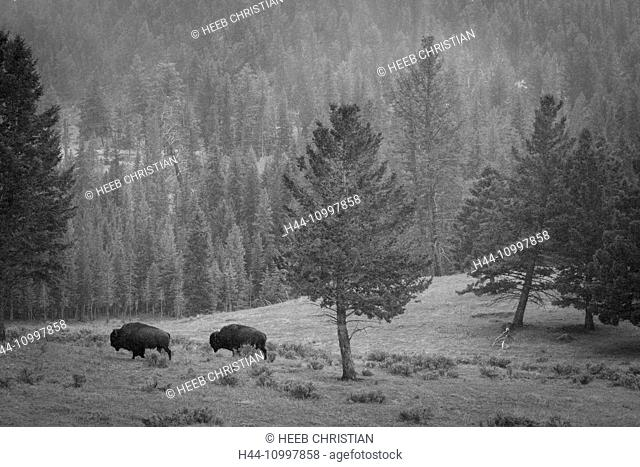 USA, Wyoming, Yellowstone, National Park, UNESCO, World Heritage, Bison, Bison bison