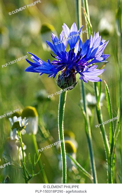 Cornflower / bachelor's button / bluebottle (Centaurea cyanus) in flower