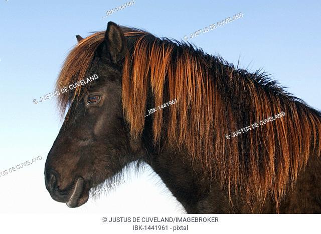 Black Icelandic Horse, Icelandic Pony (Equus przewalskii f. caballus) portrait in winter