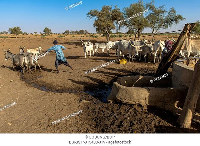 Cattle and well. Senegal