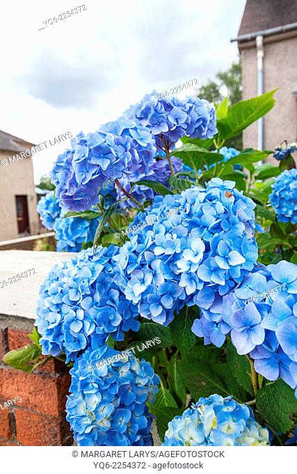 Beautiful blue hortensia blooming outside a house