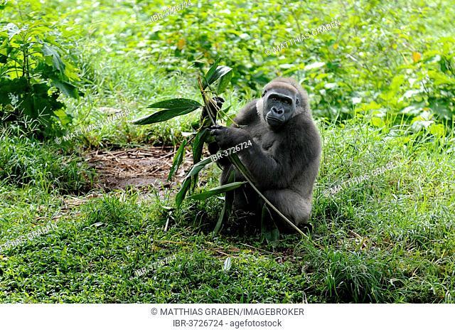 Western Lowland Gorilla (Gorilla gorilla gorilla) in the reintroduction enclosure of Mefou Primate Sanctuary, Centre Region, Cameroon