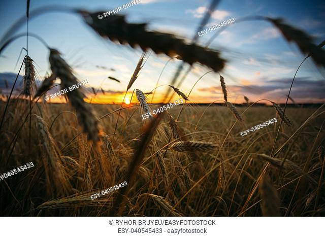 Wheat Field. Yellow Barley Field In Summer. Agricultural Season, Harvest Time. Colorful Dramatic Sky At Sunset Sunrise
