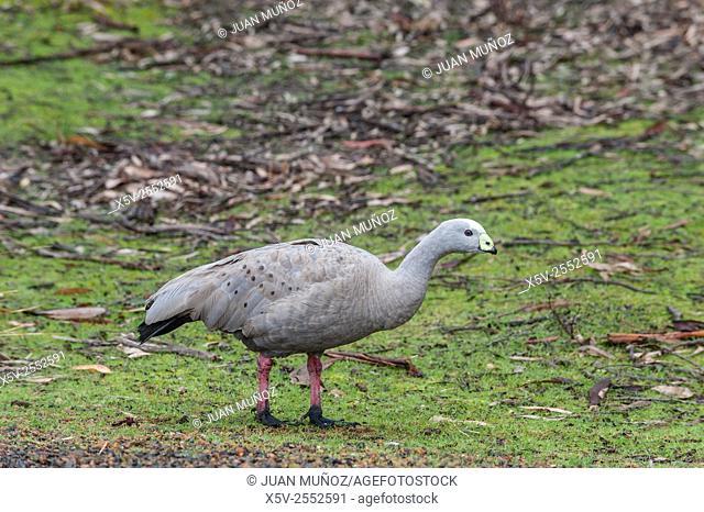 Cape Barren goose Coreopsis novaehollandiae. Flinders Chase National Park. Kangaroo island. Australia