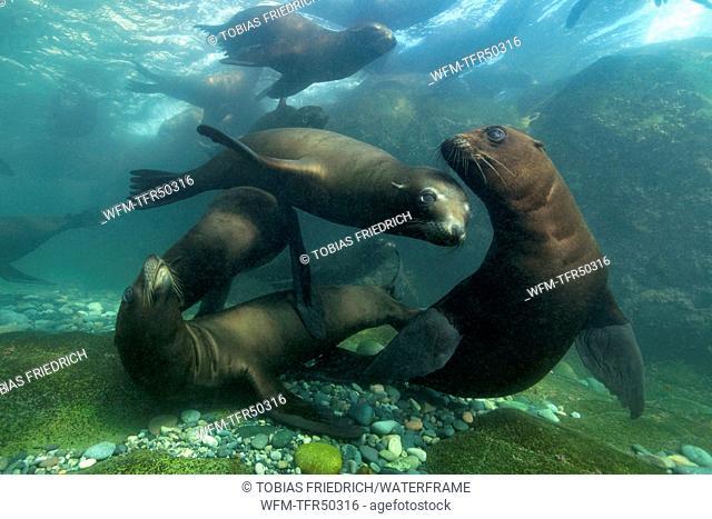 California Sea Lion, Zalophus californianus, San Benito Islands, Mexico