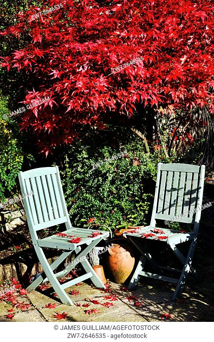 Autumn Fall colour Acer palmatum variety Bloodgood with two wooden garden chairs showing early leaf fall