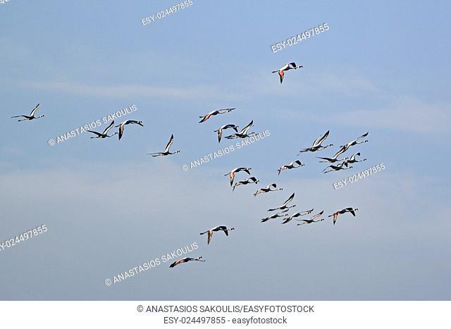 Greater Flamingo - Phoenicopterus roseus, Crete