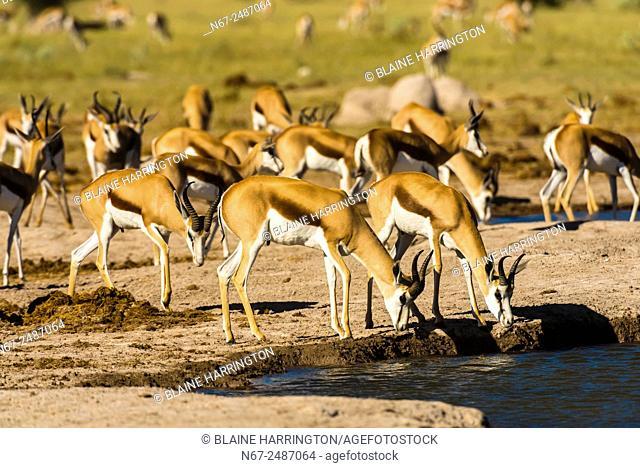 Springbok at watering hole, Nxai Pan National Park, Botswana