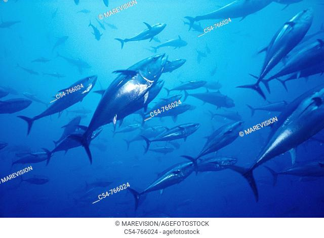 Mediterranean Sea Spain Northern bluefin tuna Thunnus thynnus