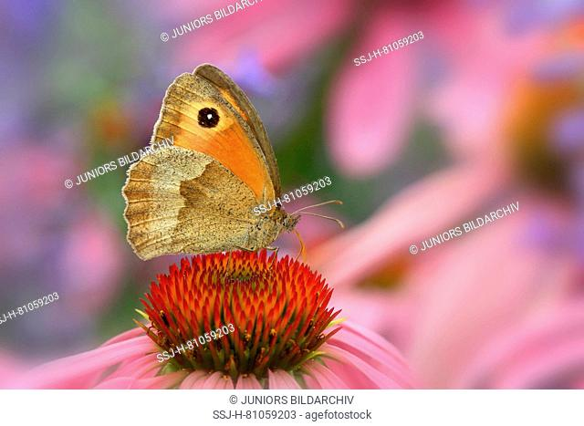Meadow Brown (Maniola jurtina) on a coneflower