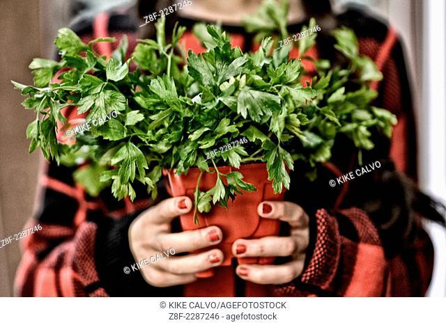 Red plant pot with Parsley (Petroselinum crispum )