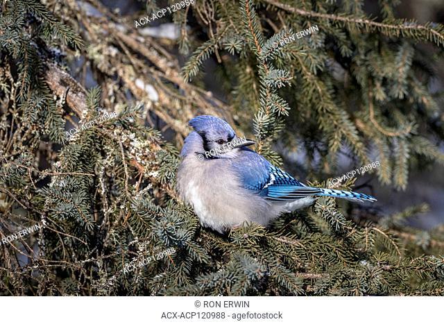 Blue Jay (Cyanocitta cristata), Algonquin Provincial Park, Ontario, Canada