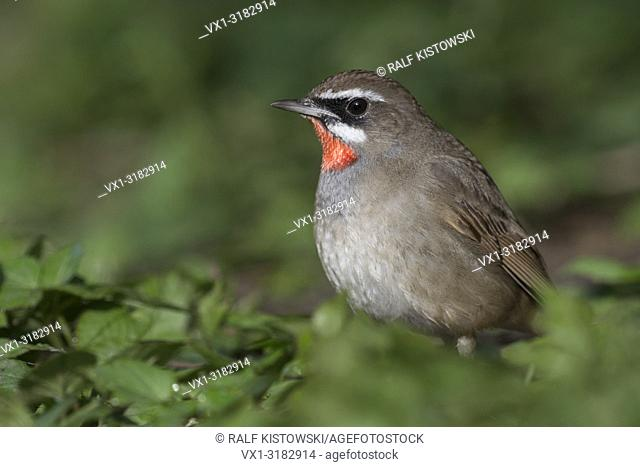 Siberian Rubythroat ( Luscinia calliope ), male bird, sitting on the ground in low vegetation, searching for food, Hoogwoud, Netherlands